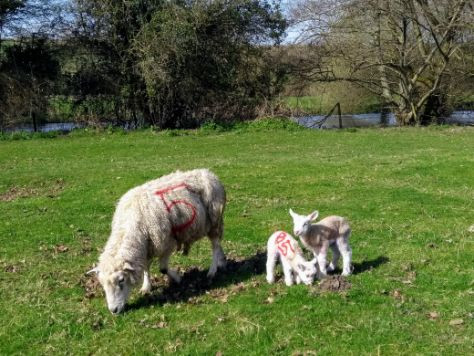 Lambs from Clare (1).jpg