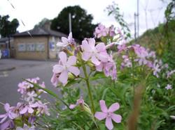 Soapwort Wild Type