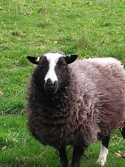 Balwen sheep