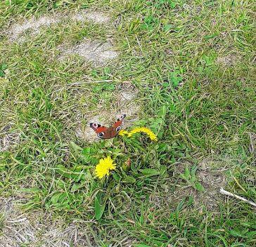 Peacock butterfly 8 April 2020 (1).jpg
