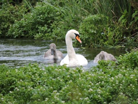 Stratford Swan & two cygnets