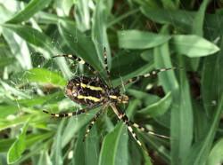 Wasp spider (argiope bruemichi)