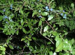 Prunus spinosa. Sloe, Blackthorn