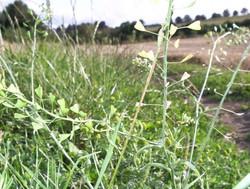 Shepherd's Purse and Pineapple weed