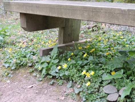 Celandines under the bench 2.jpg