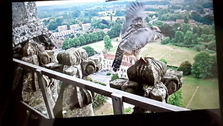 One of the peregrine chicks at Salisbury Cathedral 9 June 2020