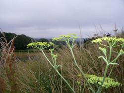Wild parsnip, Pastinaca sativa,