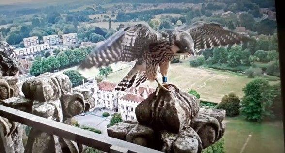 Osmund fledging