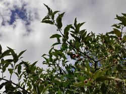 Spindle tree (Euonymus europaea)