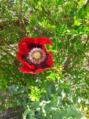 Red/black poppy