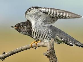 'First' cuckoo?