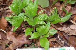 Dog's Mercury Close up