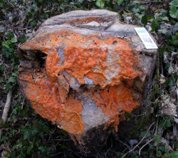 Orange Slime Mould