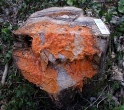 Orange Slime Mould