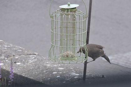 female blackbird.jpg