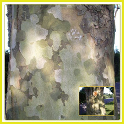 London Plane (collage)