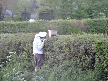 Collecting a swarm of bees
