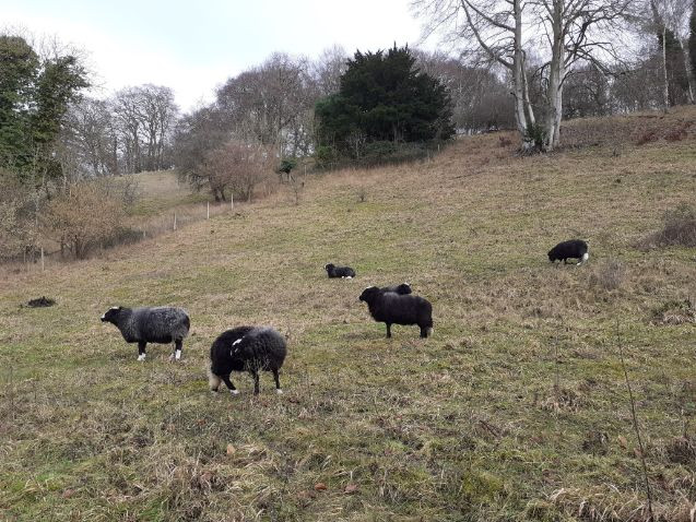 Balwen sheep at The Devenish
