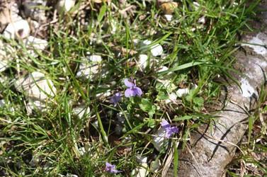 Violets 4 April 2020 (1).jpg