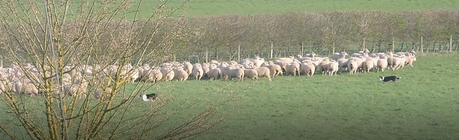 Rounding up the sheep, Parsonage Farm