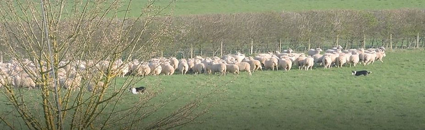 Rounding up the sheep, Parsonage Farm