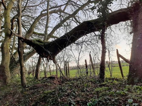 tree blown over Feb 2020.jpg
