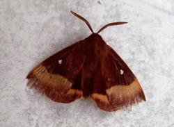 Oak Eggar moth (m)