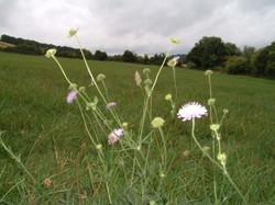 Knautia arvensis Field Scabious