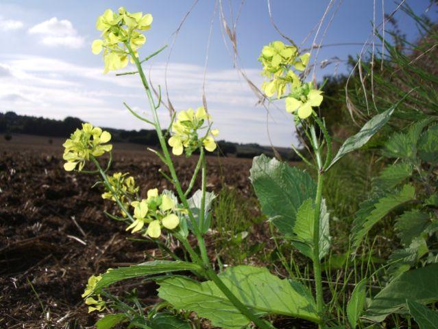 Turnip, Brassica rapa