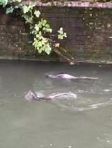 3 otters swimming in Salisbury
