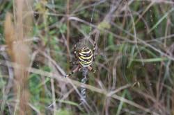 Wasp Spider (Image: Richard Death)