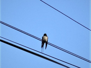 Swallows are back!