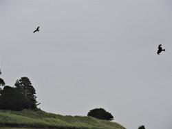 2 red kites