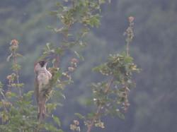 Green Woodpecker (m)