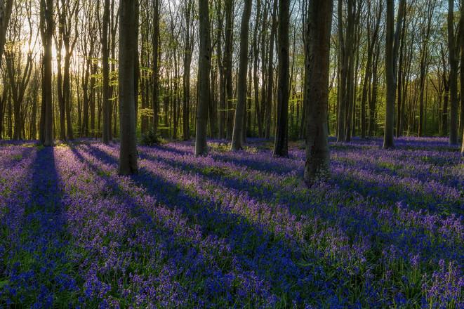 Bluebell Forest Sunrise