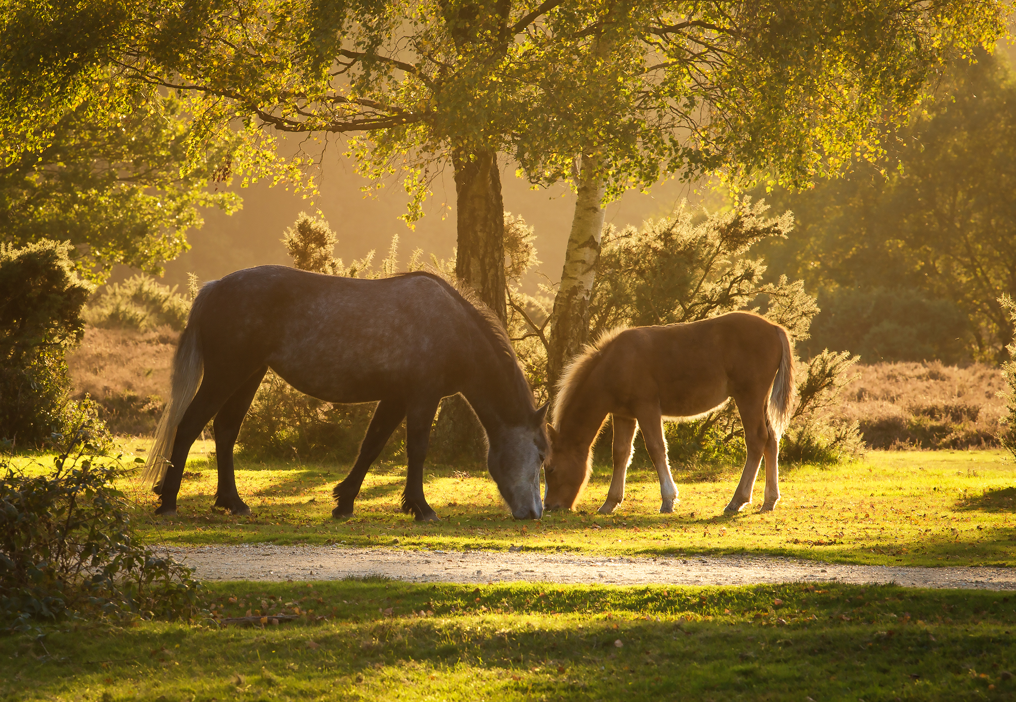New Forest Ponies - Golden Hour