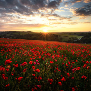 Dorchester Poppies