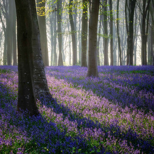 Micheldever Bluebells Hampshire