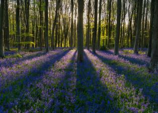 Sunlight Over Bluebells