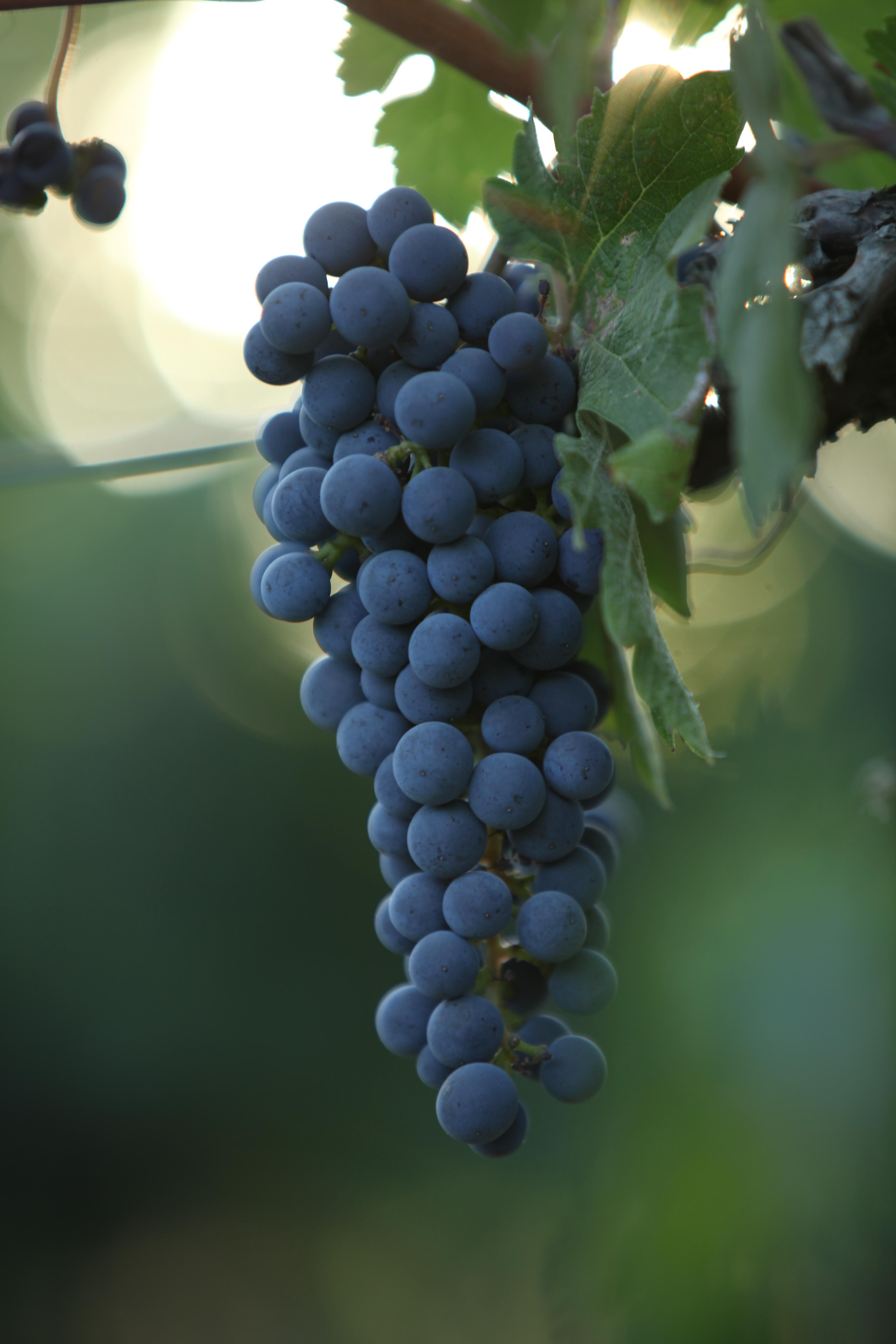McKinley Springs Vineyards 038