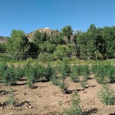 hemp field.jpg