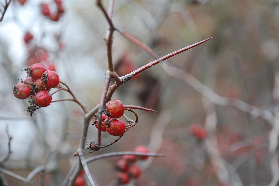 Hawberries.jpg