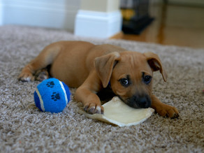 Common Health Issues in Puppies