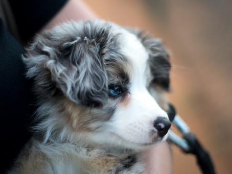 When Can I Start Walking My Puppy?