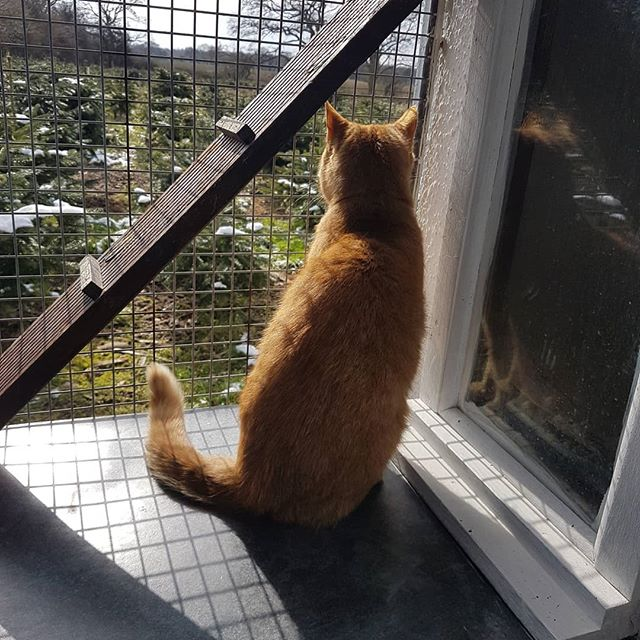 Rusty enjoying the view_#cattery #essex #danburyessex