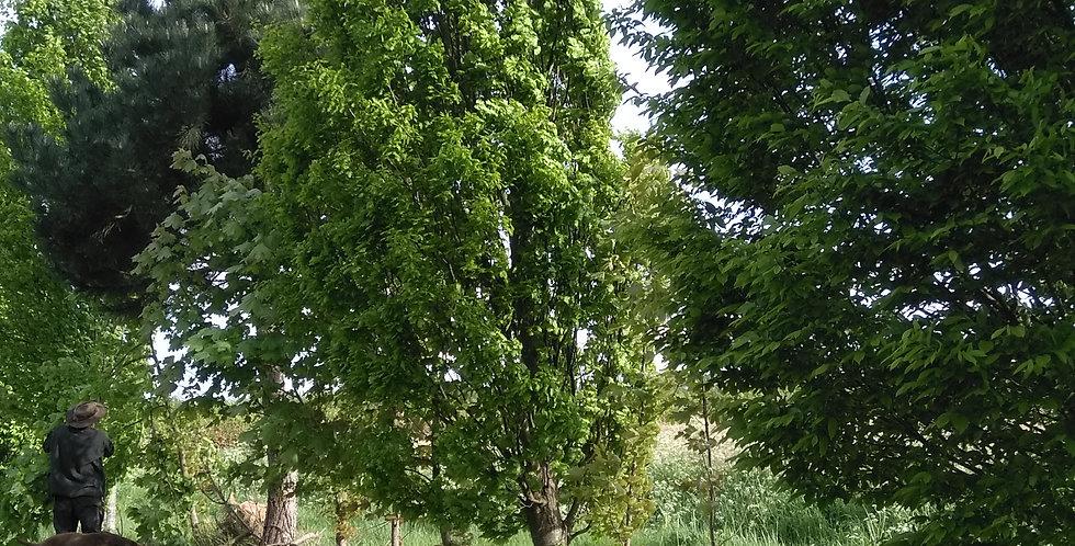 Quercus - Fastigiate Oak