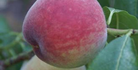 Prunus Peach Hales Early