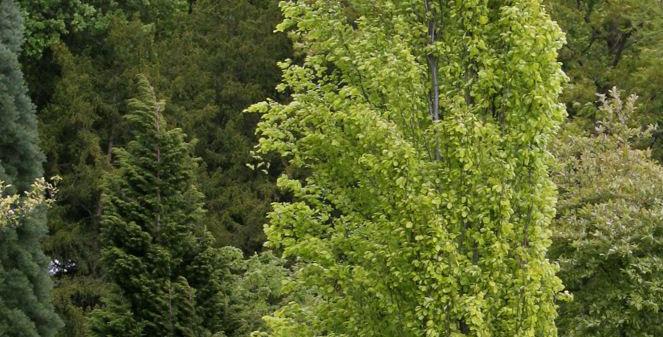 Fagus sylvatica Dawyck - fastigiate Green Beech