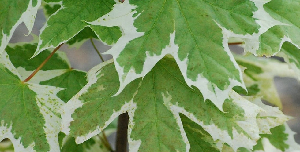 Acer platinoides - Norway Maple Drummondi