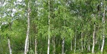 Betula pendula - Silver birch